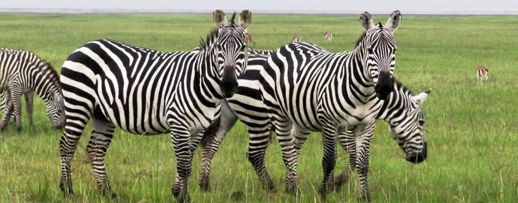 lake-nakuru-zebras