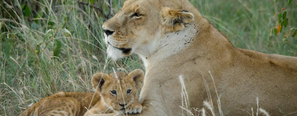 lion-cub-mara